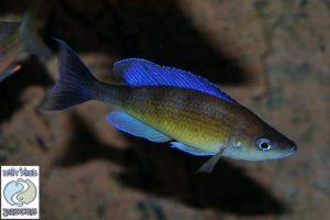 Cyprichromis zonatus F1