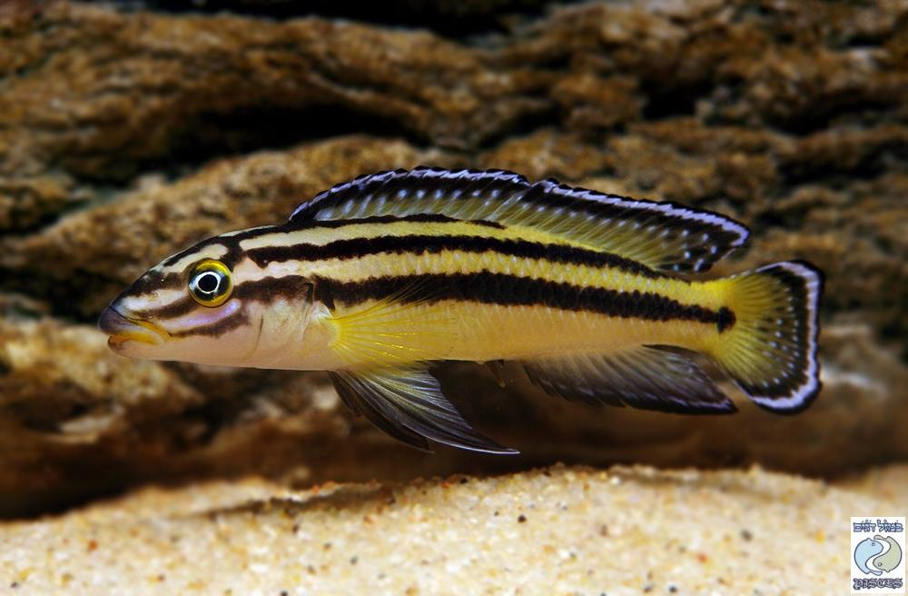 Julidochromis regani Kipili F1