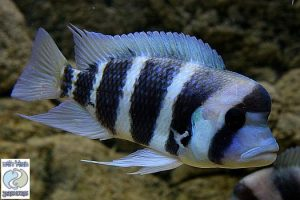 Cyphotilapia sp. north Kabogo F1