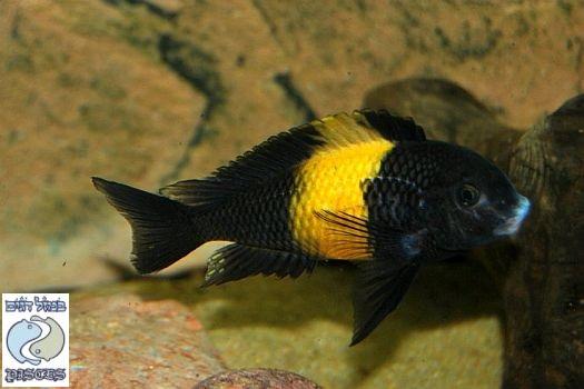 Tropheus sp. black Kiriza F1
