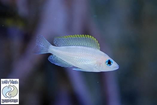 Neolamprologus caudopunctatus Chituta F1