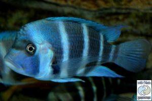 "Cyphotilapia gibberosa ""blue"" Samazi F1"