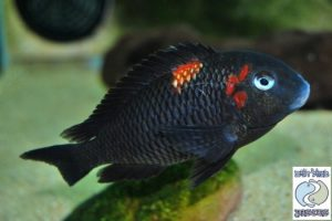 Tropheus sp. black Caramba F1