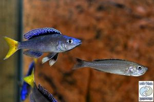 "Cyprichromis leptosoma ""blue flash"" Mpulungu F1"