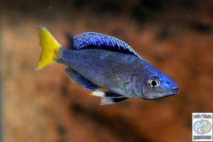 "Cyprichromis leptosoma ""blue flash"" Mpulungu F1"