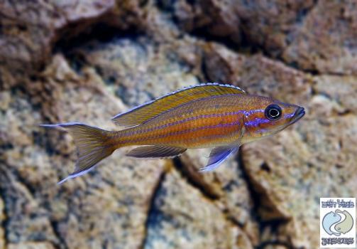 "Paracyprichromis nigripinnis ""blue neon"" Kambwimba F1"