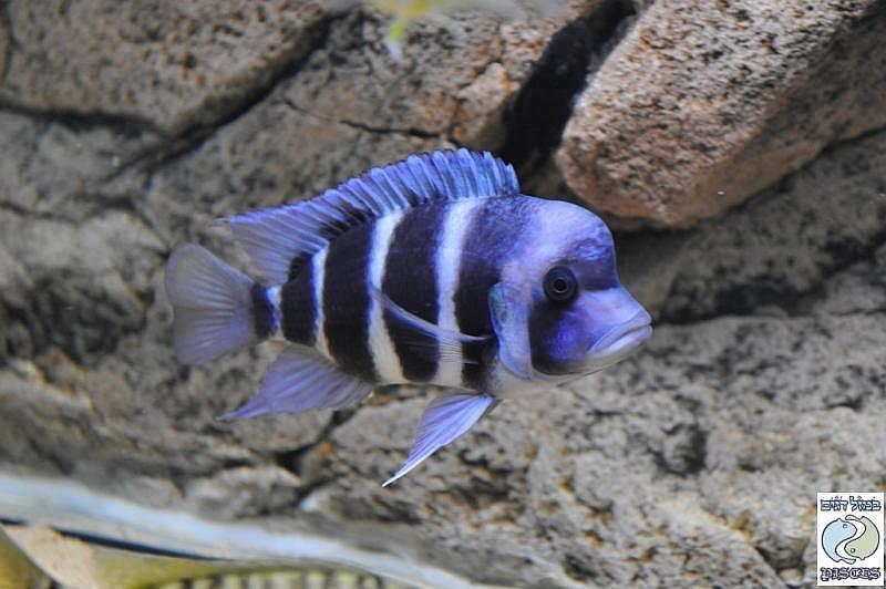 """Cyphotilapia gibberosa """"blue"""" Zambia F1"""