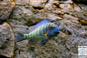 """Tropheus moorii """"blue rainbow"""" Chaitika F1"""