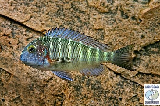 "Tropheus moorii ""blue rainbow"" Chaitika F1 group – SPECIAL DEAL!"