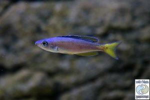 """Cyprichromis leptosoma """"blue/neon"""" Tanzania F1"""