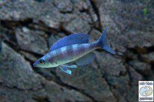 Cyprichromis & Paracyprichromis