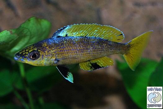 Cyprichromis leptosoma Kitumba F1