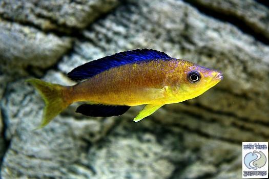 Cyprichromis microlepidotus Karilani F1