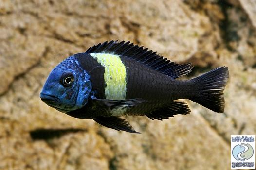 Tropheus duboisi Halembe F1  group  –  SPECIAL DEAL!!