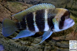 Cyphotilapia sp. north Bulu point F1