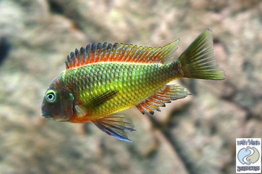 """Tropheus moorii """"red rainbow"""" Kasanga F1"""