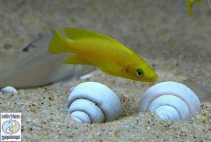 """Neolamprologus leleupi """"orange"""" Kabogo F1"""