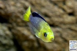 "Cyprichromis leptosoma ""yellow head"" Kipili F1"