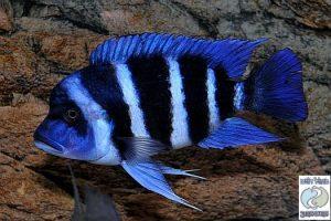 "Cyphotilapia gibberosa ""blue Zaire"" Moba F1"