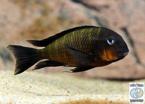 "Tropheus sp. Mpimbwe ""orange cheek"" Msalaba F1"