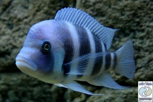 "Cyphotilapia gibberosa ""blue"" Mpimbwe F1"