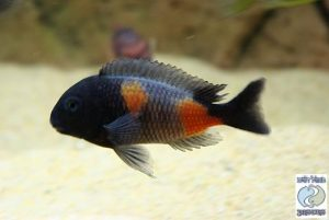 Tropheus sp. black Bulu point F1