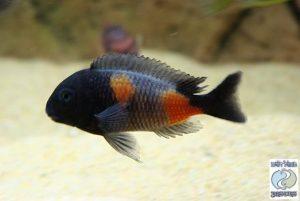 Tropheus sp. black Bulu point F1