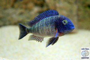 """Tropheus moorii """"purple rainbow"""" Lufubu F1"""