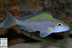 Xenotilapia spilopterus Mabilbili F1
