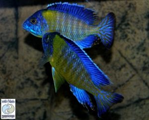 "Aulonocara stuartgranti ""blue neon"" Undu reef F1 – SPECIAL DEAL!"