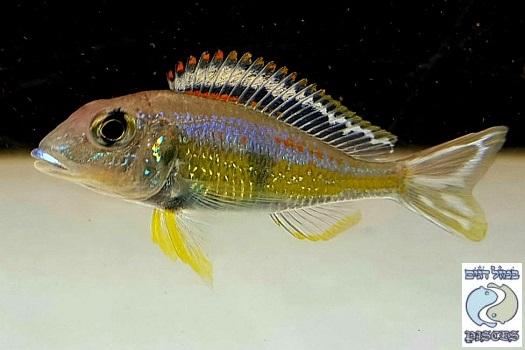 "Callochromis pleurospilus ""flame rainbow"" Kigoma F1"