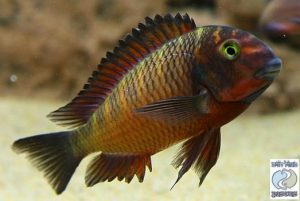 Tropheus sp. red Chimba F1