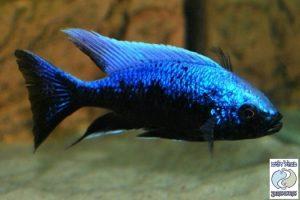 Haplochromis