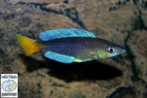 Cyprichromis leptosoma Karilani F1