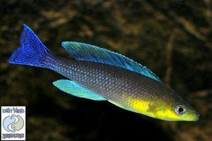Cyprichromis leptosoma Kigoma F1