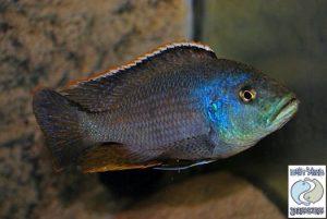 Nimbochromis polystigma F1