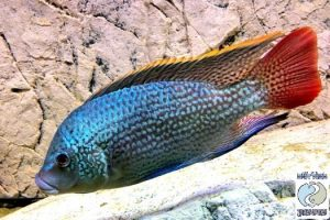 Oreochromis tanganicae F1