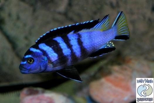 "Pseudotropheus elongatus ""yellow tail"" Zimbawe rocks F1"