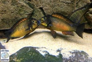 Tropheus sp. red Kachese F1