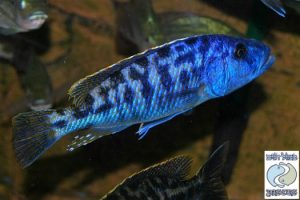 Tyrannochromis nigriventer Matema F1