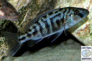 Tyrannochromis nigriventer Makonde F1