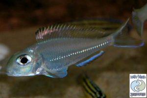 "Xenotilapia ornatipinnis ""pearl"" Burundi F1"