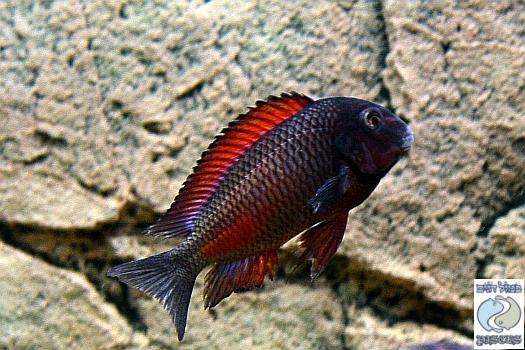 Tropheus sp. red Moliro F1
