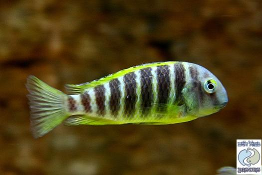 Tropheus brichardi Ujiji F1 group – SPECIAL DEAL!