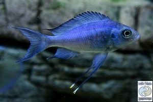 """Ophthalmotilapia ventralis Katoto """"blue"""" F1"""