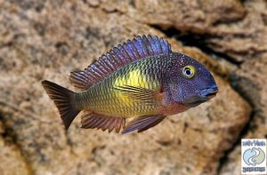 "Tropheus moorii ""sunspot"" Katoto F1 group – SPECIAL DEAL!"