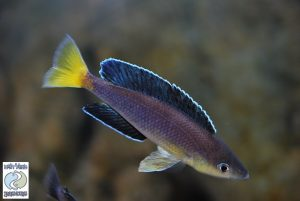 "Cyprichromis leptosoma Chaitika ""yellow chest"" F1  – rare!"