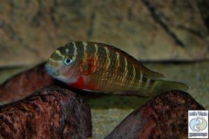 Tropheus sp. red Lunangwa south F1 – RARE