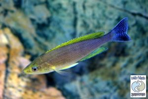 "Cyprichromis leptosoma Mbita ""yellow"" F1  – rare!"