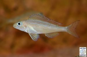 "Xenotilapia spilopterus ""silver spot"" Kigoma F1 – rare!"